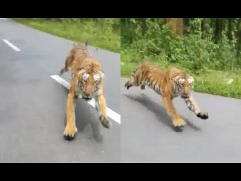 Tiger Chases Man On Motorcycle. Your Daily Dose Of Internet.