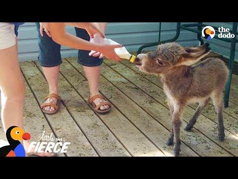 World's Tiniest Donkey Loves Pranking His Mom Video - TINY TIM