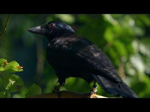 Crows - The Ultimate Problem Solvers