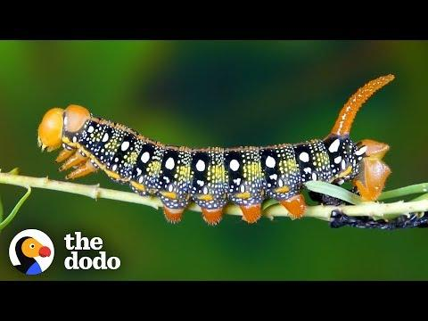 Watch This Caterpillar Turn Into A Hawk-Moth | The Dodo