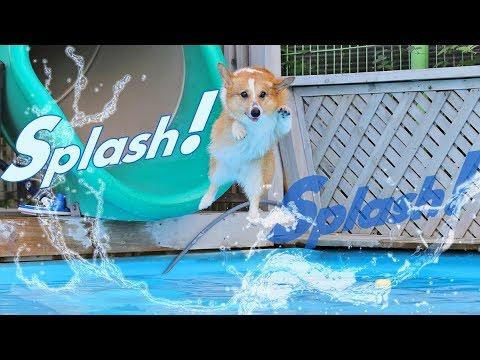 Corgi splashing and Swimming in the pool