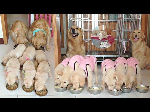 Proud Golden Retriever Parents And Their Loving Puppies Video
