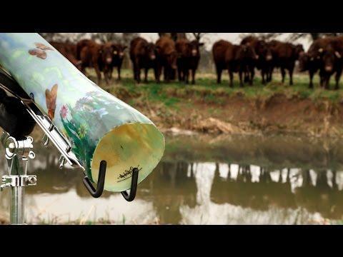 Didgeridoo Wows Cows