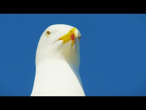 Seagull Sandwich Thief | BBC Earth
