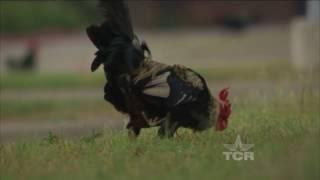 Chicken Sanctuary (Texas Country Reporter)