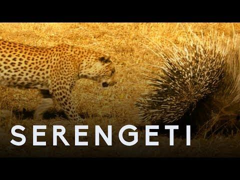 Leopard Vs Porcupine | Serengeti: Story Told by John Boyega | BBC Earth