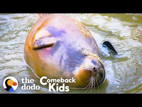 Tiny Lost Seal Grows Up To Be Blubbery And Hilarious Video | The Dodo Comeback Kids