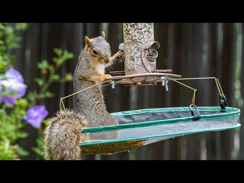 Squirrel Raids Bird Feeder - Cyclotron Physicist Builds a Squirrel Cafe #Video