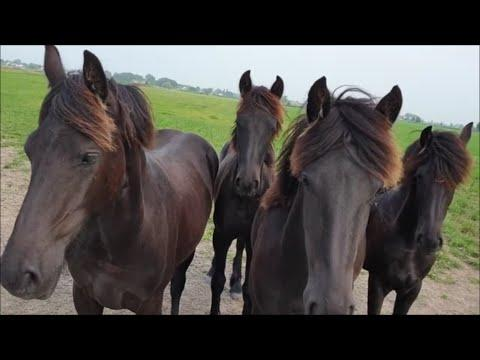 How are you ladies? Yearlings and two-year-olds. Friesian horses.