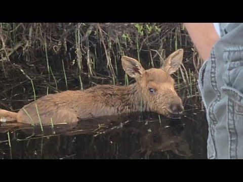 Baby Moose Saved From Drowning In Lake Video. Your Daily Dose Of Internet.