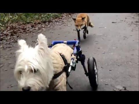 Disabled dog becomes blind fox's walking guide #video