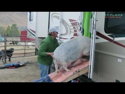 Ziggy The Pig Is A One Of A Kind, 250lb Unique Pet