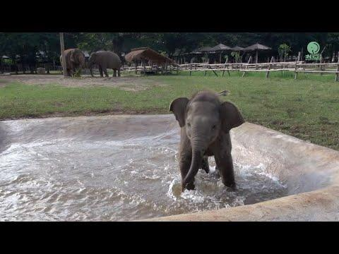 Baby Elephant Wan Mai Outing Video