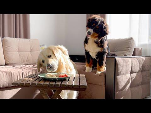 Leaving My Golden Retriever and Bernese Mountain Dog Puppy Alone with Food Video