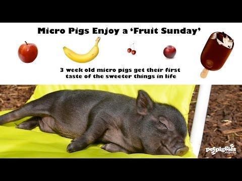 Micro Pigs Enjoying A Fruit Sunday