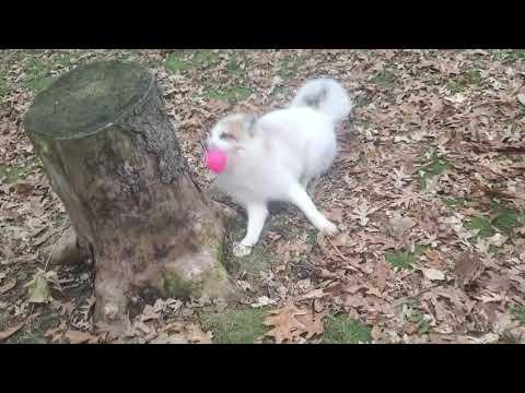 Jameson and Shadow play with a new pink ball Video