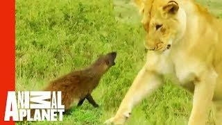 Feisty Mongoose Fights Off A Pride Of Lionesses | Weird, True & Freaky