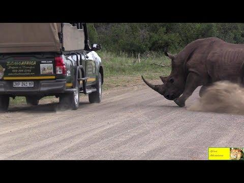 Angry Rhino Bull Charge Cars In Kruger National Park #Video