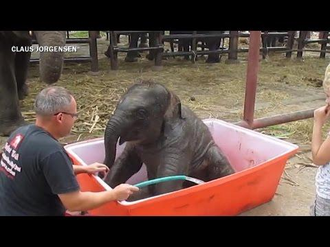 Cute Baby Elephant Splashes Around In The Bath