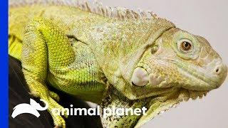 Dr.Ross Finds Abscess On Iggy The Iguana's Tail | The Vet Life