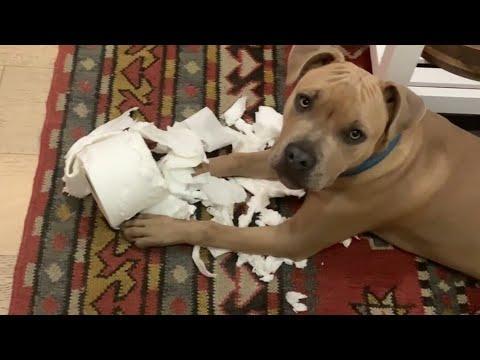 Tiniest, Calmest Pittie Puppy Grows Man #Video