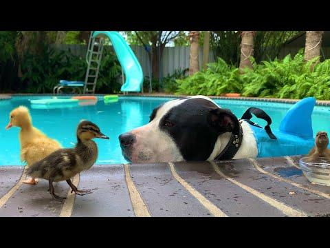 Happy SHARK WEEK 2020 Video  - PitBull, Mako the Shark and Ducklings #SharkWeek