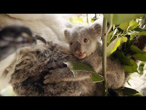 Baby Koala's first time out of Mothers Pouch