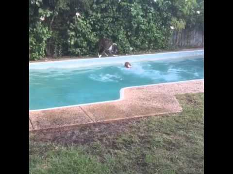 Dog Pretends To Drop Toy In Pool So Other Dog Jumps In