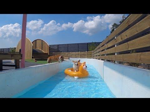 Corgi Floating in Pool