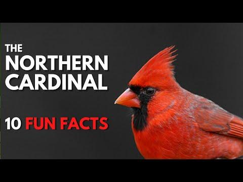 The NORTHERN CARDINAL | 10 FACTS about them video