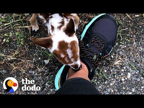 Tiniest Baby Deer Asks Woman To Rescue Him. Video.