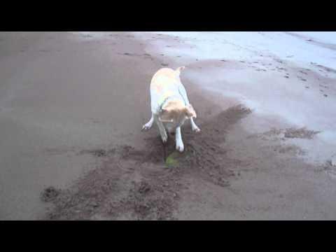 Dog Has Trouble Picking Up Frisbee