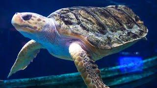 Injured Sea Turtle Saved by 3D Printing | Earth Unplugged