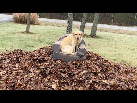 Stella Won't Let Her Human Take the Leaves Video