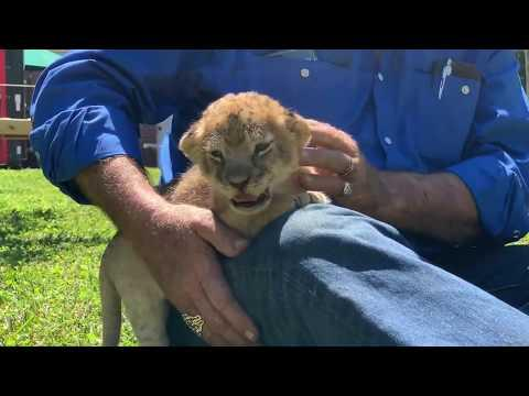 Lion Cubs Enjoying Some Florida Sunshine