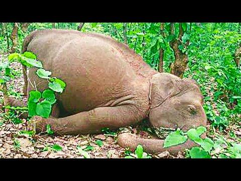 Elephant Herd Travel 12 Hours To Mourn Human Who Rescued Them! #Video