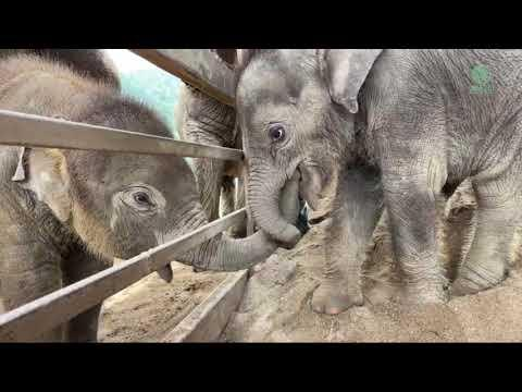Baby Elephant PyiMai Come To Greeting A New Rescued Baby Chaba - ElephantNews  #Video