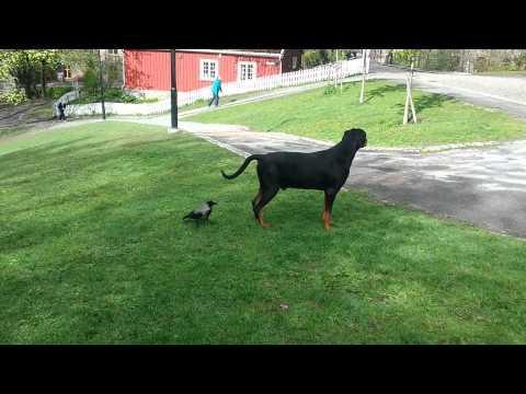 Crow Takes On Big Dog