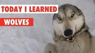 Today I Learned: Wolves