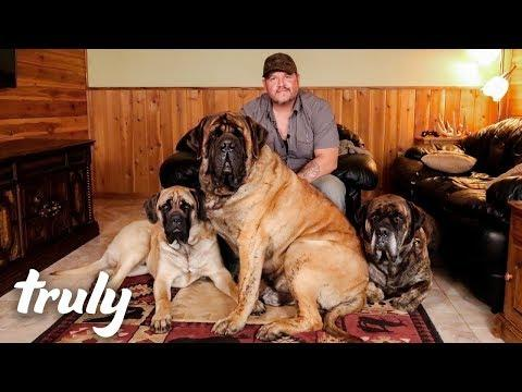 My Monster Mastiff Weighs 250lbs | TRULY