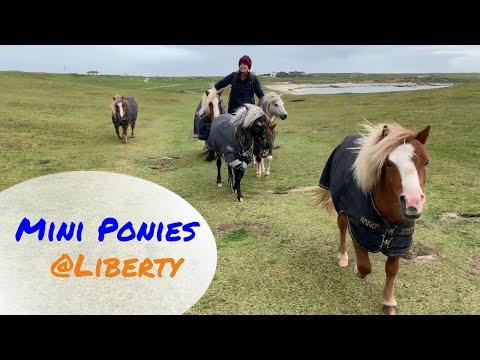 6 MINI PONIES go hiking at LIBERTY. Emma Massingale
