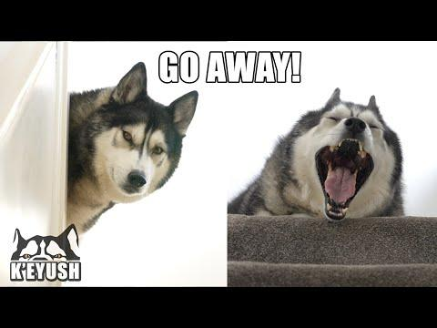 LAZY Husky ARGUES About Getting Out of BED For a Walk! #Video