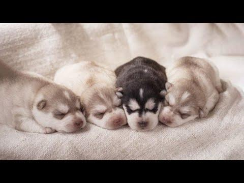 Funny And SOO Cute Husky Puppies Compilation Video #05 - Cutest Husky Puppy