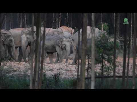 Sounds of the Jungle : Wild Elephant