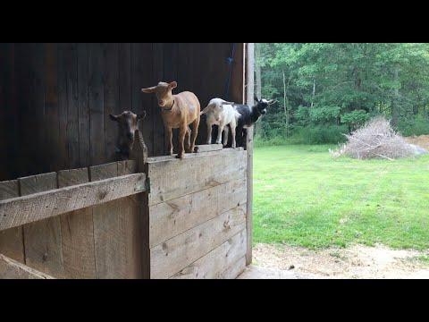 3 Naughty Goat Kids