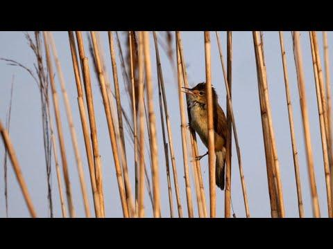 Eurasian Reed Warbler Singing Video