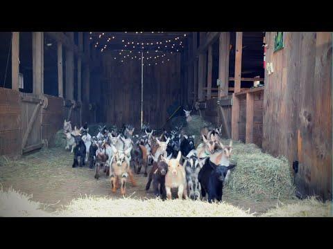 Epic Running of the Goats @Sunflower Farm Creamery #Video