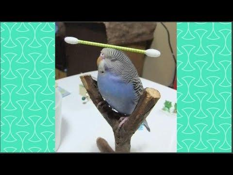 Hardest not to say AWESOME while watching CUte Parrot doing Tricks -  Funny Parrot Videos