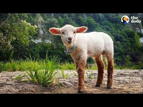 Cuddly Baby Lamb Thinks He's A Puppy - ZUKO