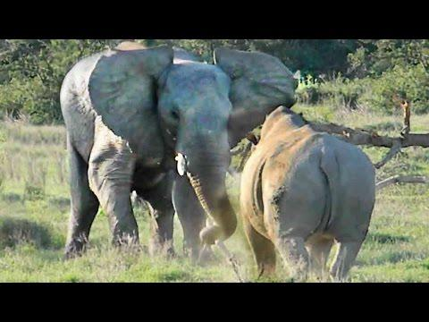 Elephant Throws Big Stick To Show Rhino Who's Boss!